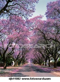 Jacaranda-trees-pretoria_~DJH11802